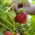 bunk_gp_thumb_erdbeeren