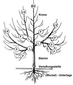 Turbo Obstbaumschnitt Grundlagen - Baumschule Bunk ME92